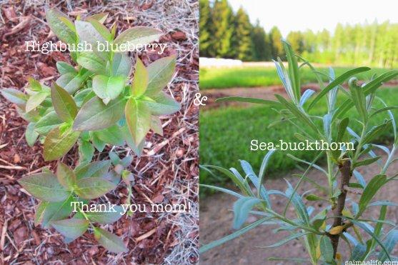 highbush-blueberry-and-sea-buckthorn