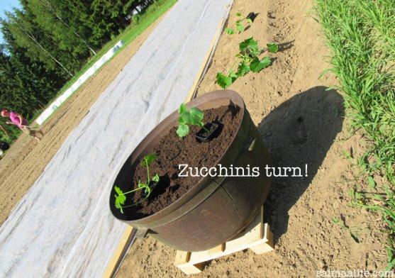zucchini-seedlings