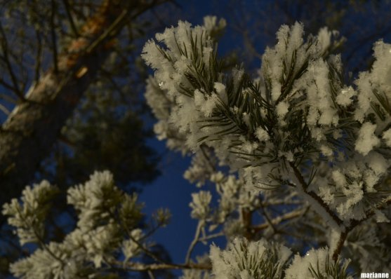snow-flakes-on-pine-tree