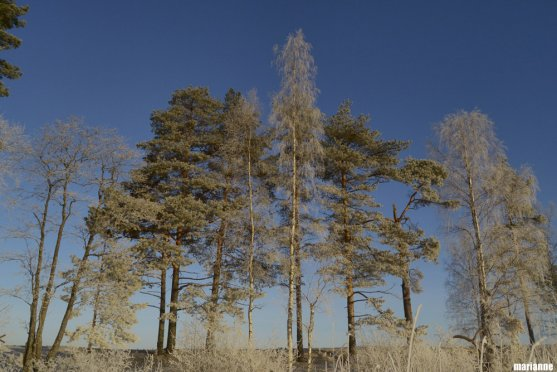 winter-birches-and-pine-trees
