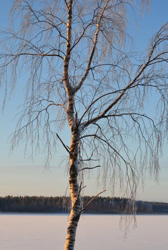 birch-by-the-lake-saimaa