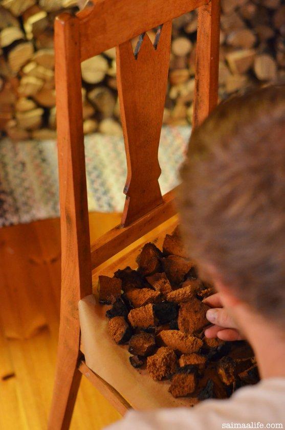 chaga-mushroom-in-finland