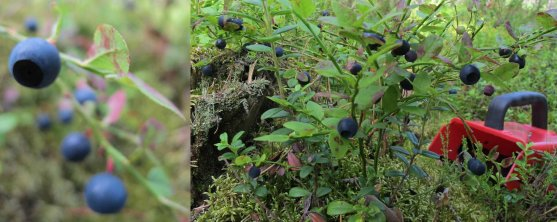 finnish-mature-bilberries