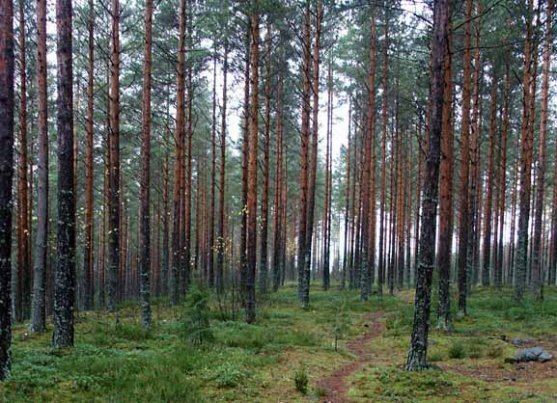 pine-boreal-forest