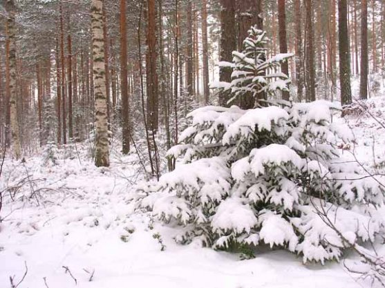 snowy-boreal-forest