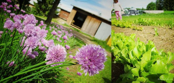 Chives and salads