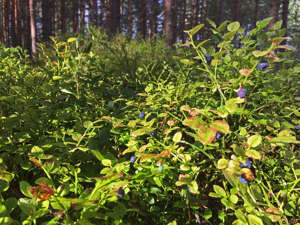 stress-away-in-the-blueberry-forest-1
