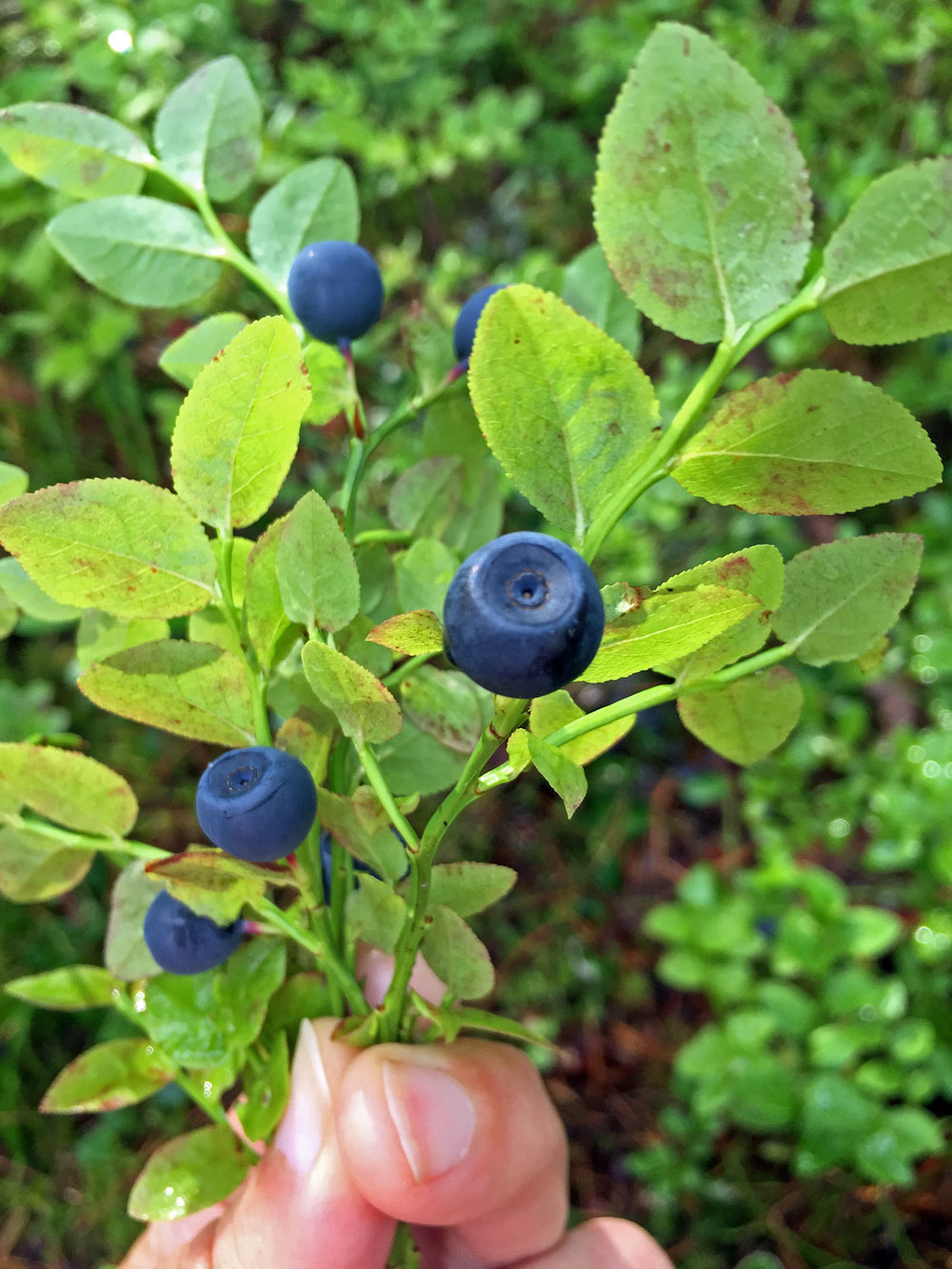 stress-away-in-the-blueberry-forest-4