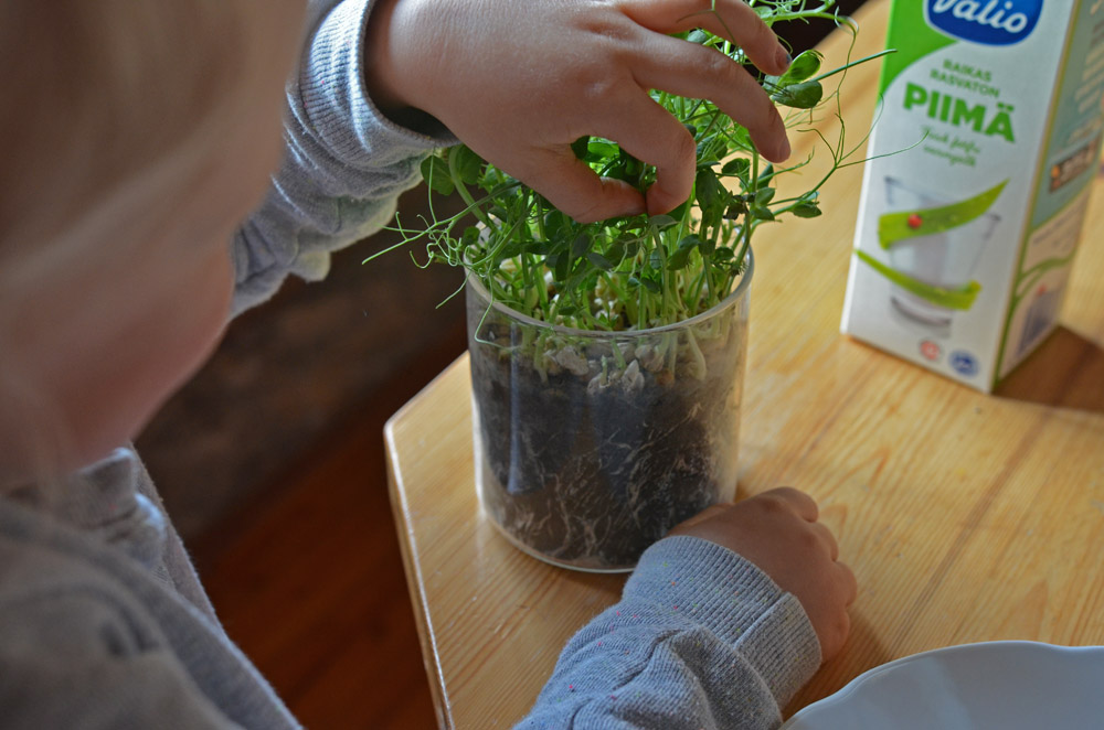 harvesting-sefl-grown-pea-shoots