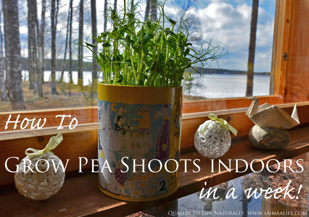 how-to-grow-pea-shoots-indoors-in-a-week