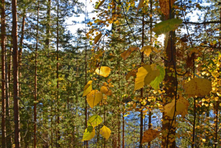 autumn-leaves-in-sun