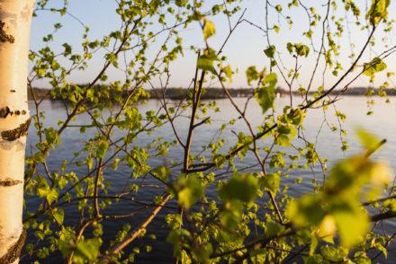 Birch, greenery, spring, Finland landscape, Saimaa
