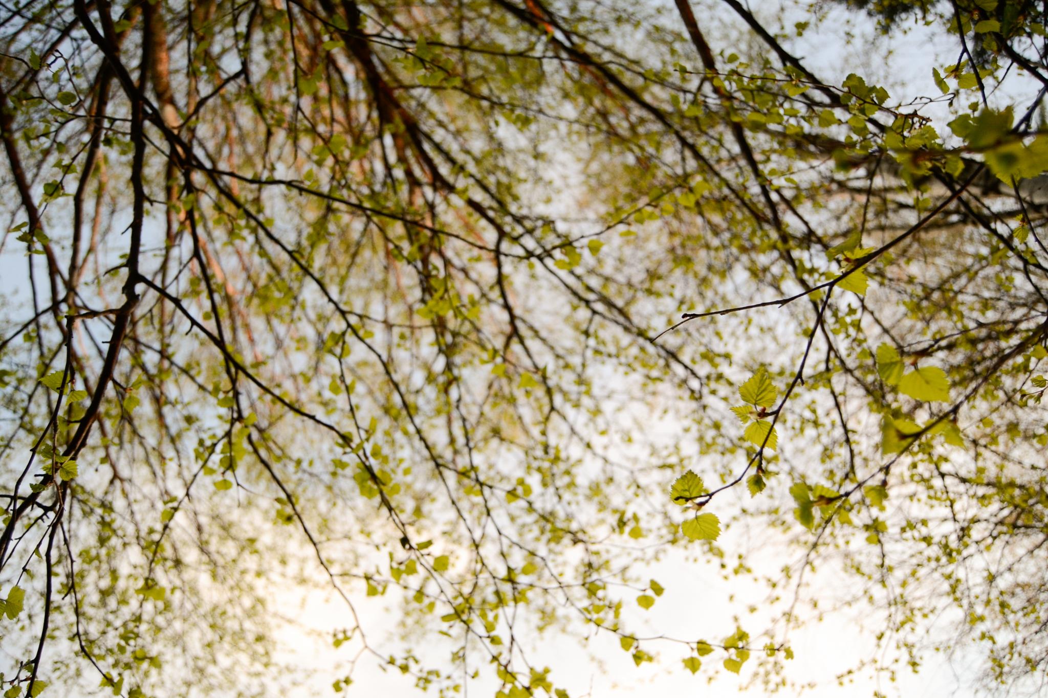 Green spring birch trees in Saimaa Finland
