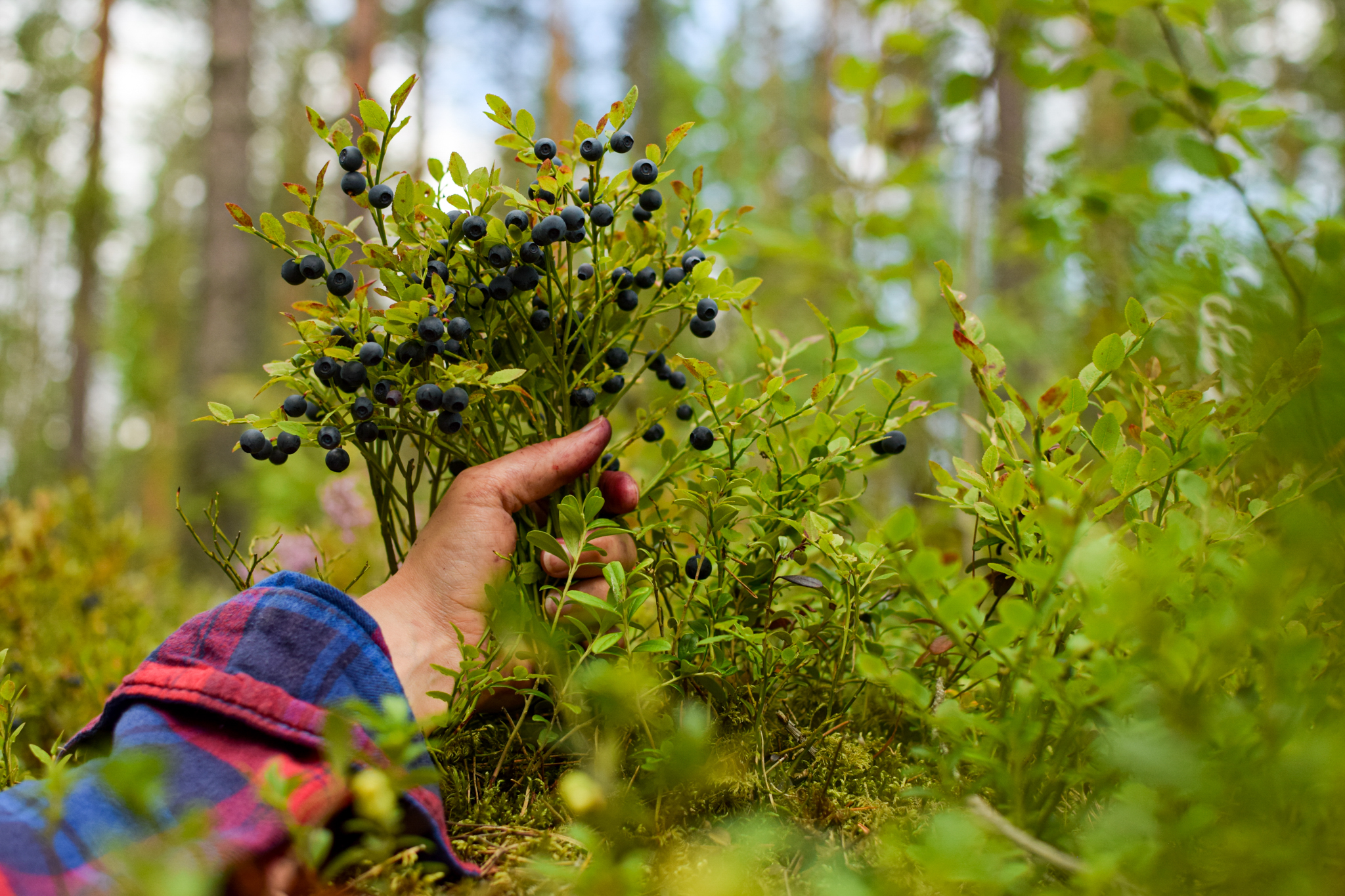 Finnish summer ways to connect with nature and yourself by picking wild blueberries and making a pie