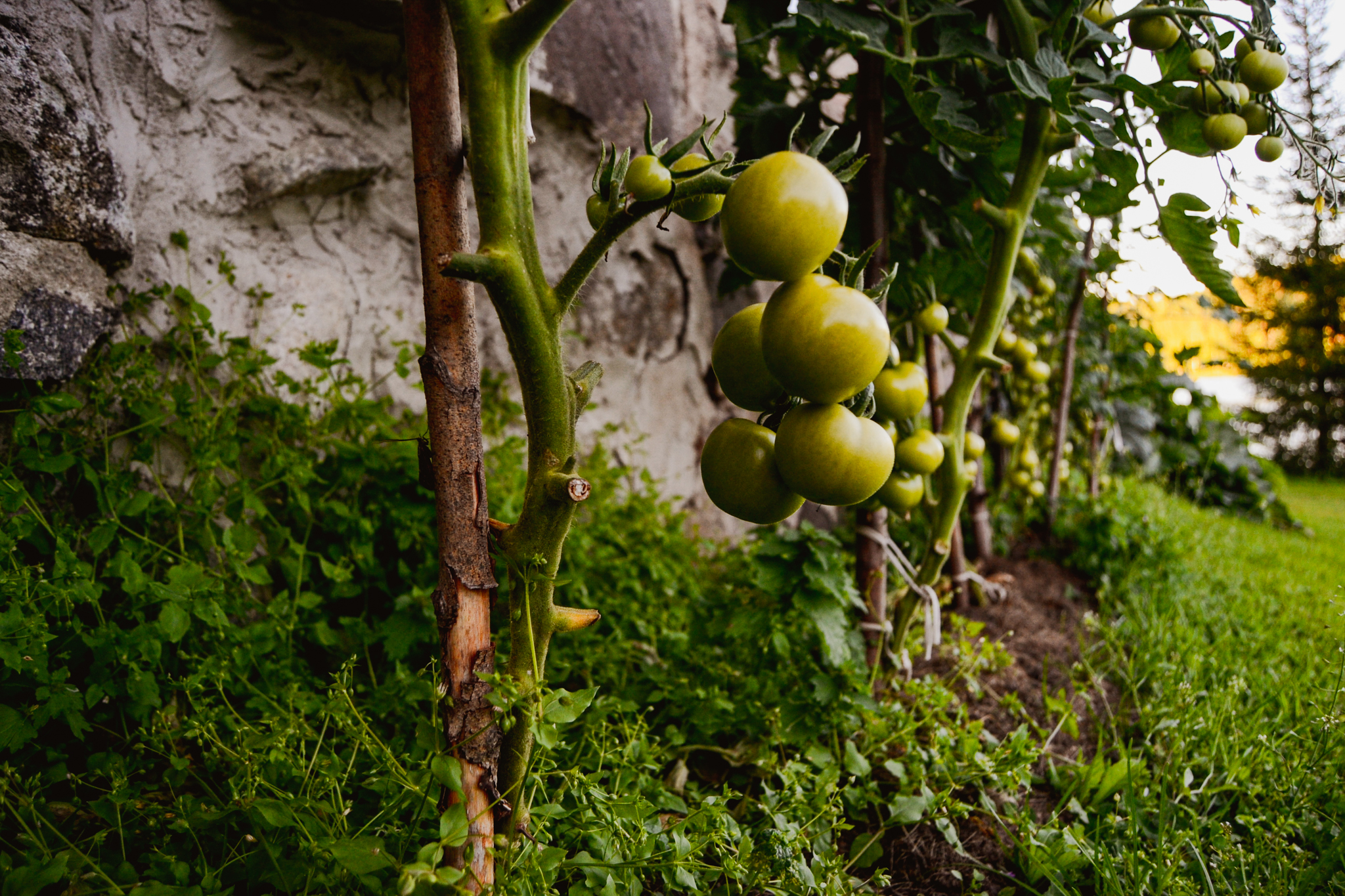 Tomatoes growing in the Finnish garden on calm summer evening
